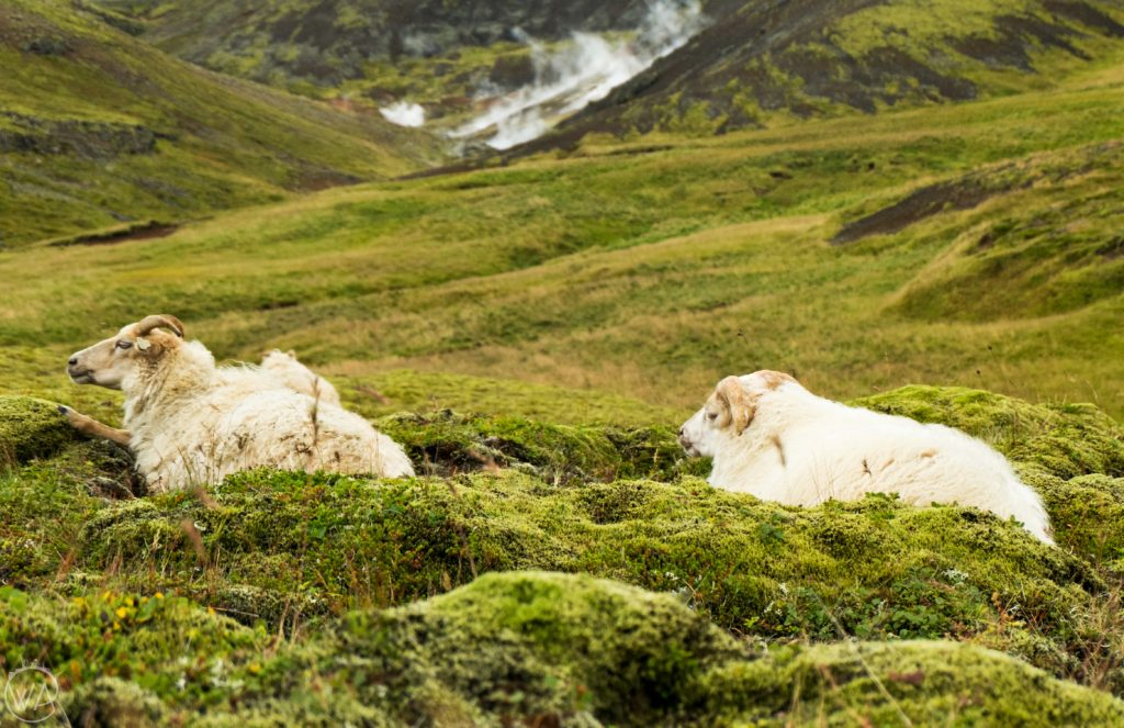 Iceland off the beaten path with hidden gems map - sheep in Reykjadalur – hot river hike Iceland