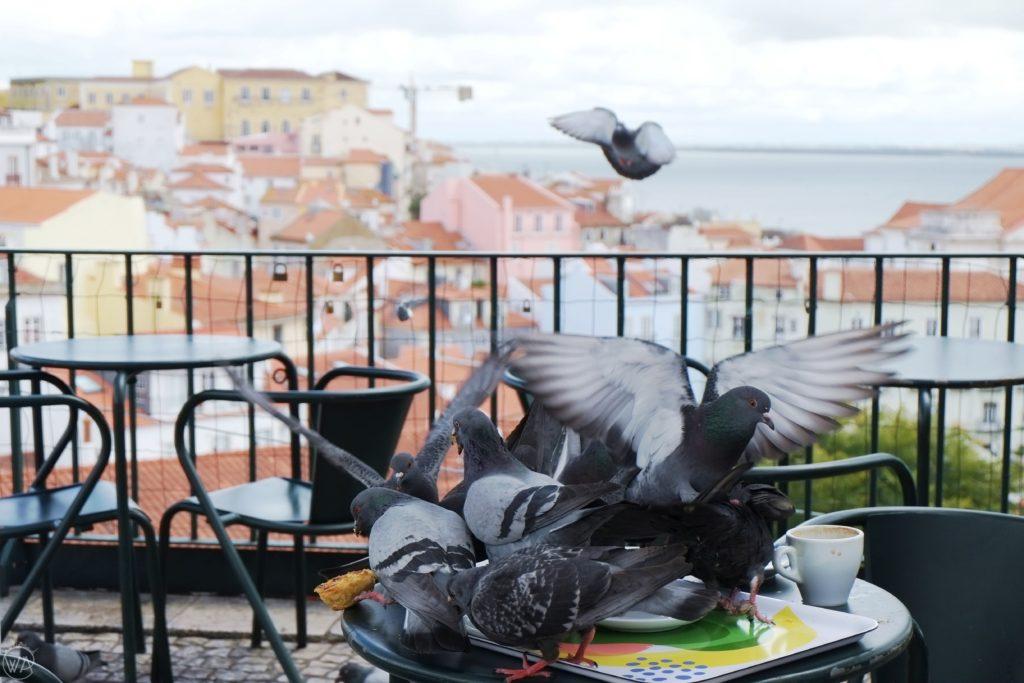Pigeons in Lisbon