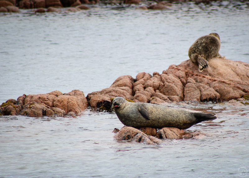 Posing seals, Isle of Mull