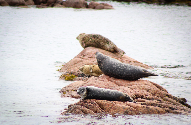 Seals around Isle of Mull on wildlife tours