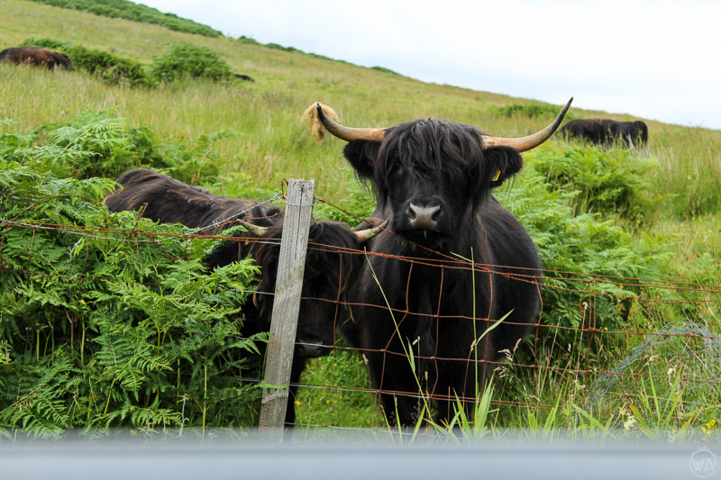 You can also meet happy Highland cows!