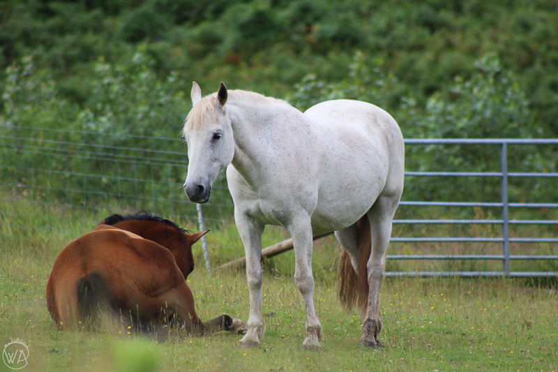 Beautiful horses, Isle of Mull