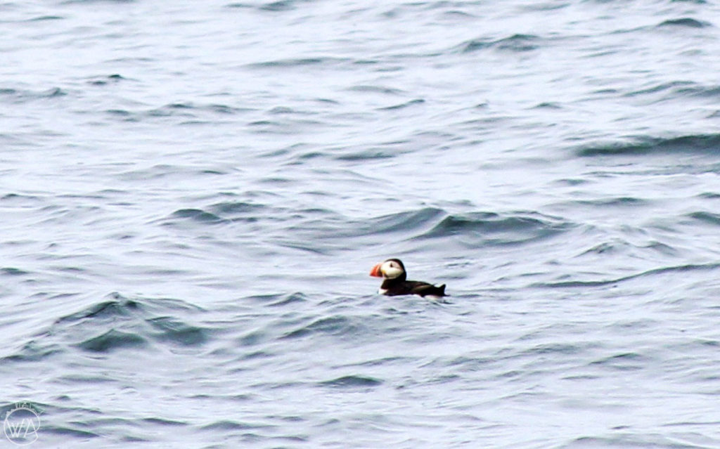 Puffins on the way to Isle of Staffa