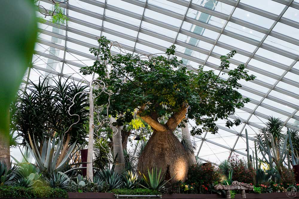 Baobabs in the Flower Dome in the Gardens by the Bay in Singapore