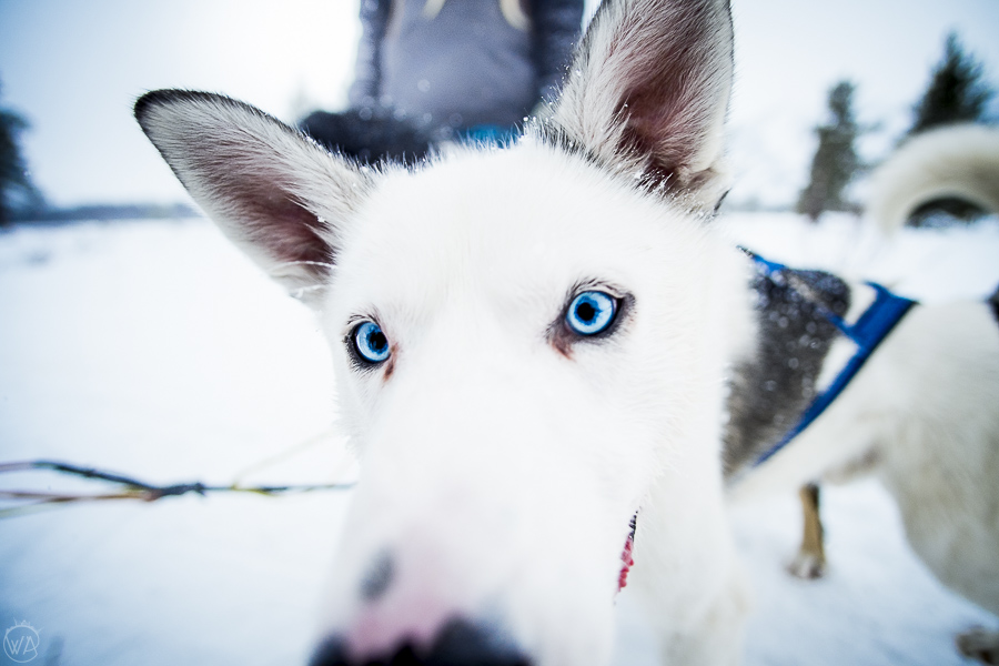 Husky from dog sledding in Norway