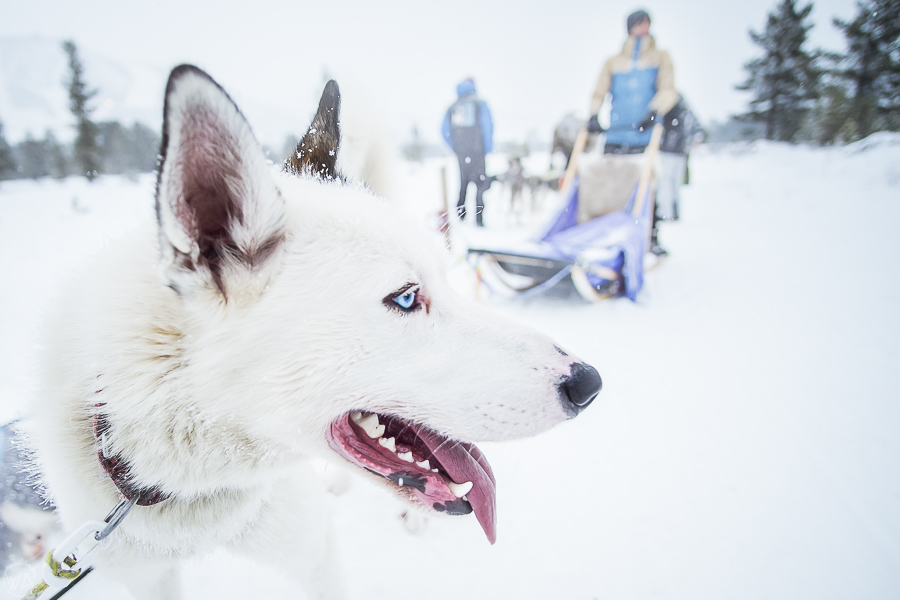 dog sledding in Norway , Oslo, Husky tours