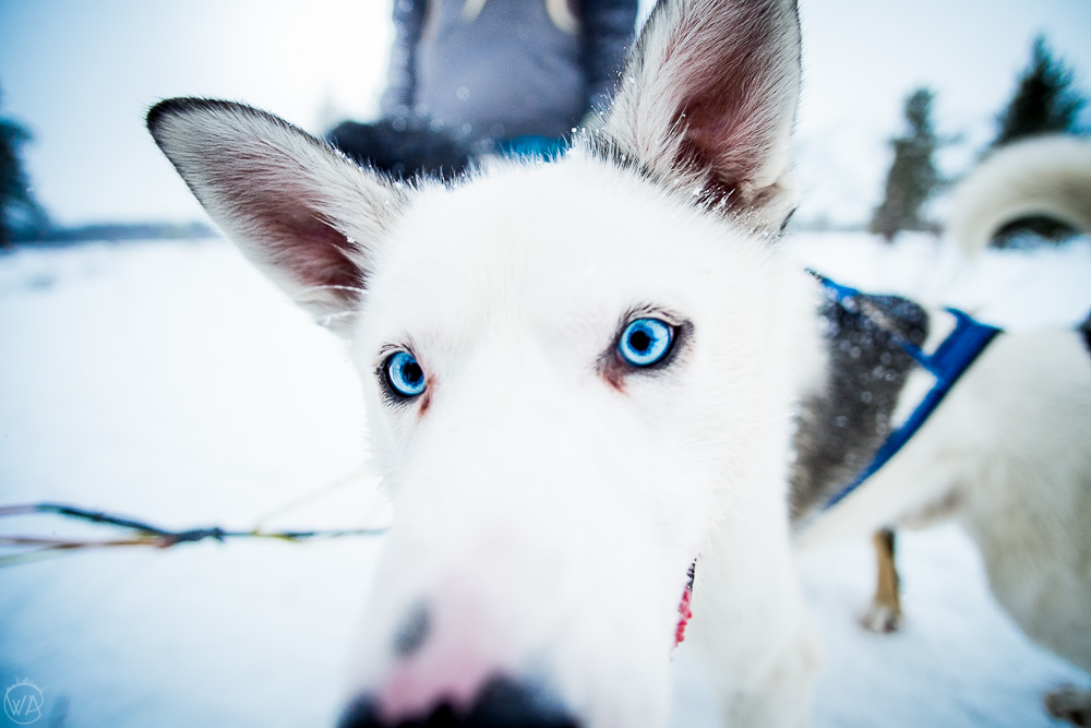 Dog sledding in Norway - norway winter travel road trip itinerary