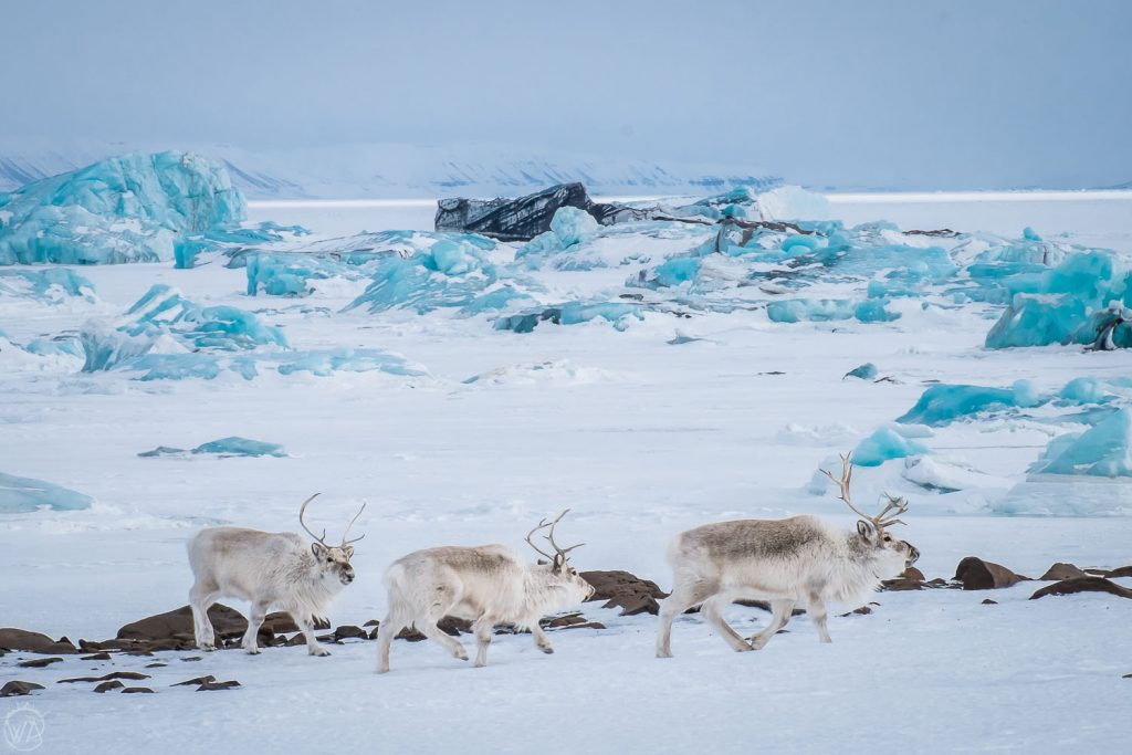 Wild Reindeer during Svalbard tours on snowmobiles to the East coast