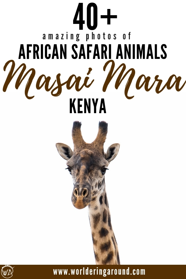 Photos of Masai Mara safari animals to inspire you to travel to Kenya. Have a look what African safari animals you can see in Masai Mara, Kenya. The best safari experience in Kenya | Worldering around #Kenya #MasaiMara #safari #Africa #EastAfrica #wildlife #photography