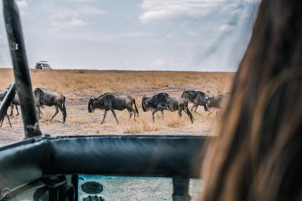 wildebeest great migration masai mara