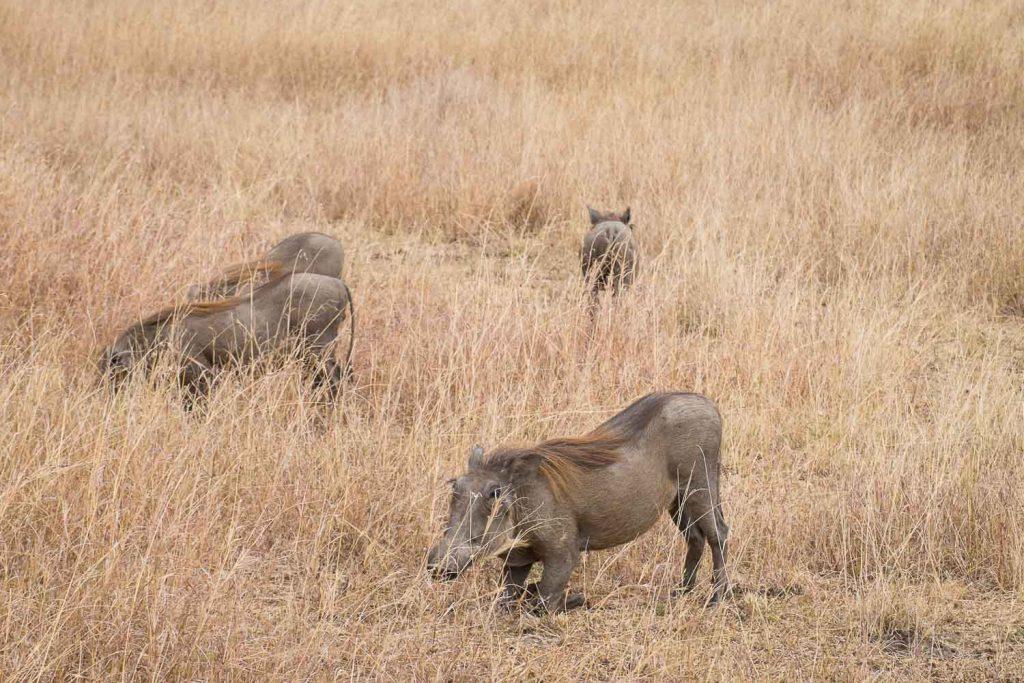 Warthog, Masai Mara safari, Kenya
