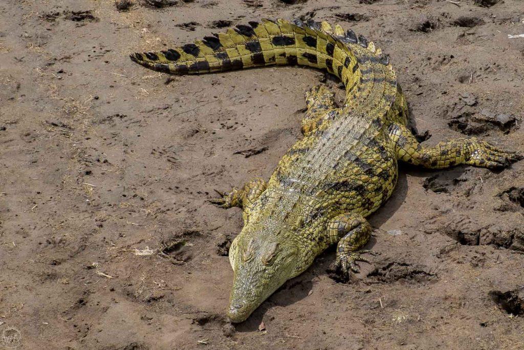Crocodile, Masai Mara safari in Kenya