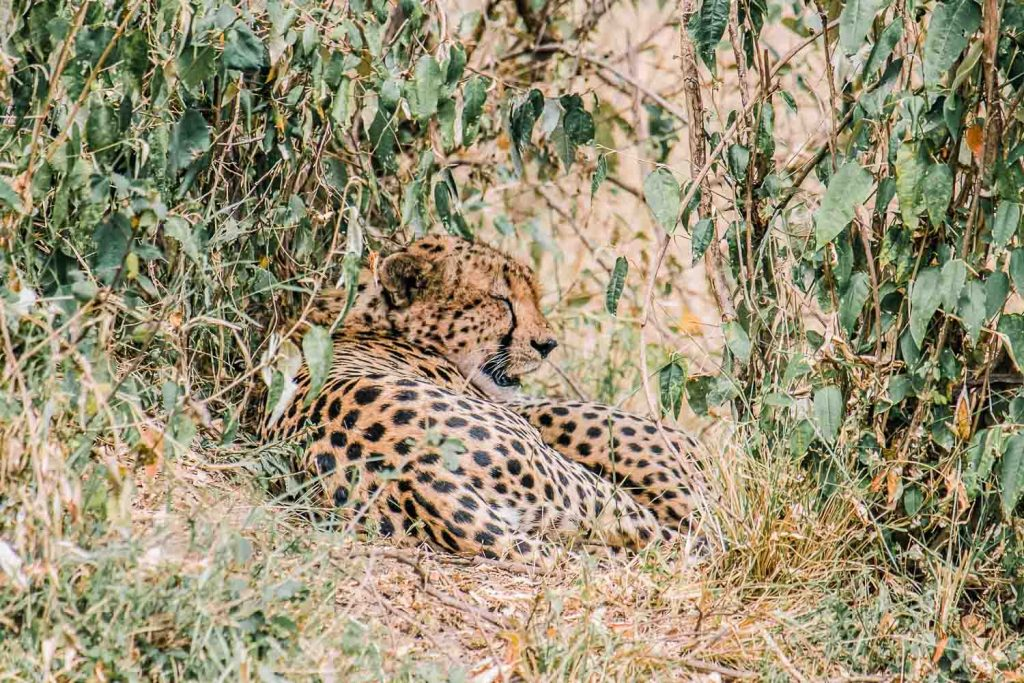 Resting cheetah, Masai Mara safari, Kenya