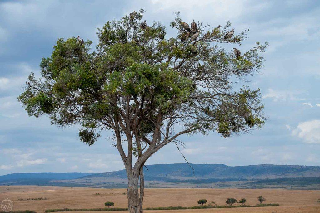 Vultures on the tree, Masai Mara safari, Kenya