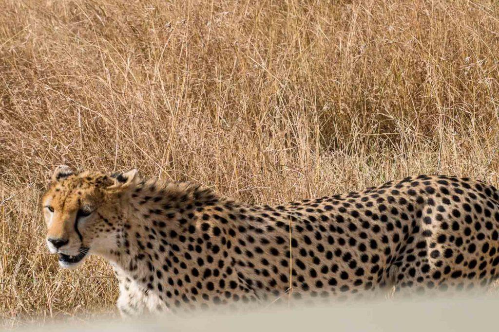 Hunting cheetah, Masai Mara safari, Kenya