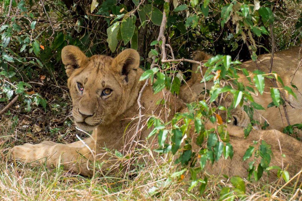 Lions resting under the tree, Masai Mara safari, Kenya