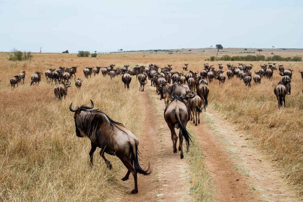 Running wildebeest, Masai Mara, Kenya
