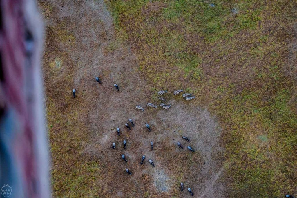 Wildebeest and zebra seen from the hot air balloon, Masai Mara, Kenya