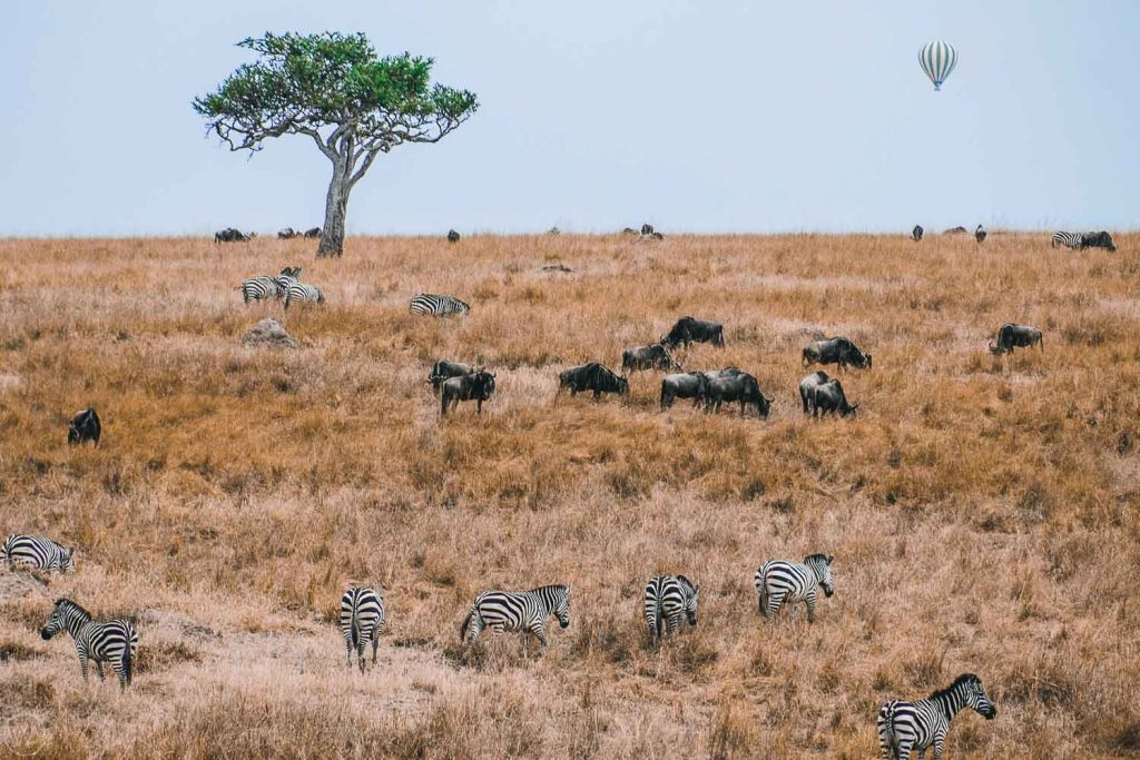 In Masai Mara, all the animals live next to each other. Zebras and wildebeest with the hot air balloon in the background. Masai Mara, Kenya