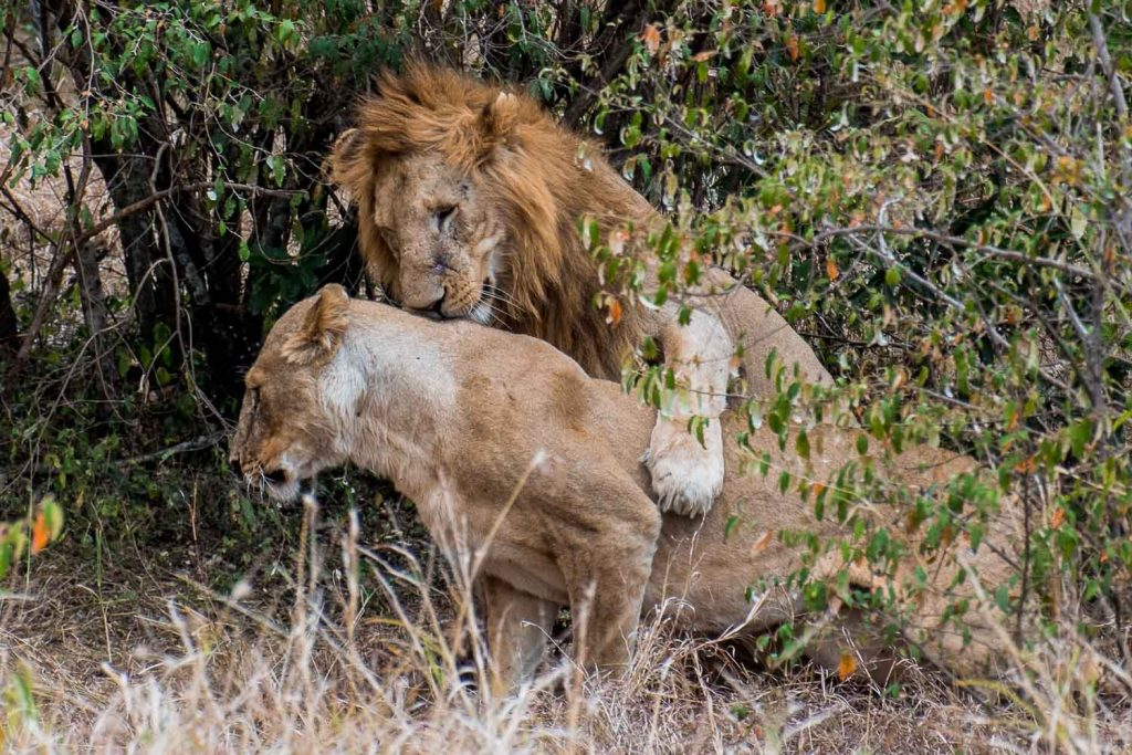 African safari animals in Masai Mara Great Migration, Lions mating, Masai Mara safari, Kenya