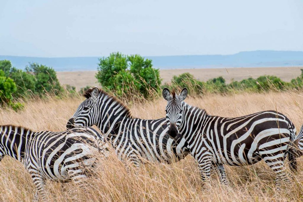 African safari animals in Kenya - Zebras, Masai Mara, Kenya