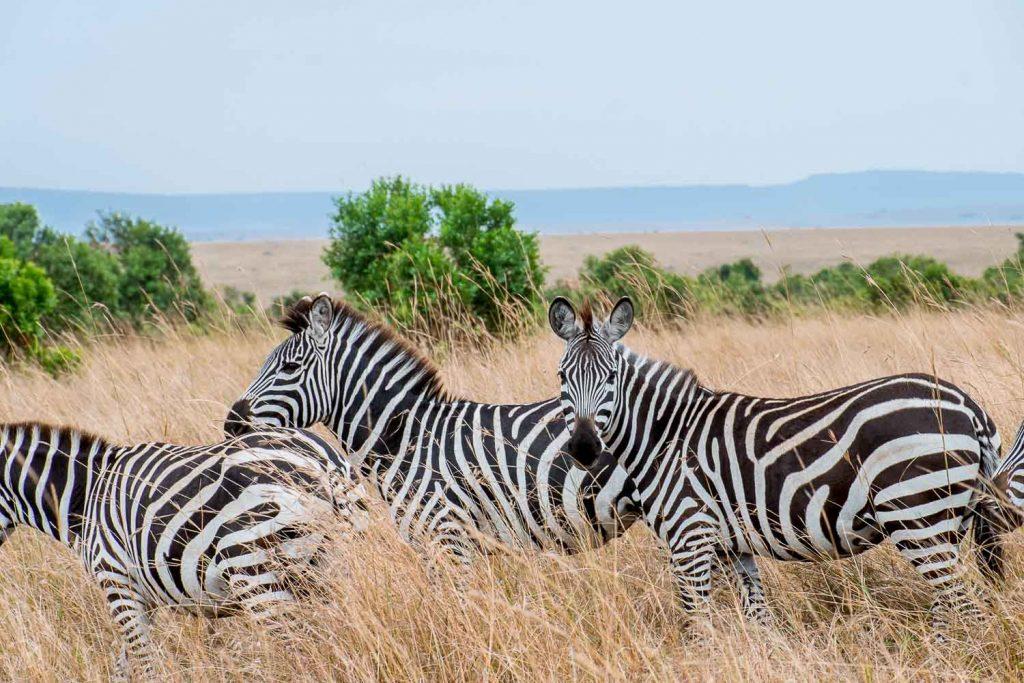 African safari animals in Kenya - Zebras, Masai Mara, Kenya