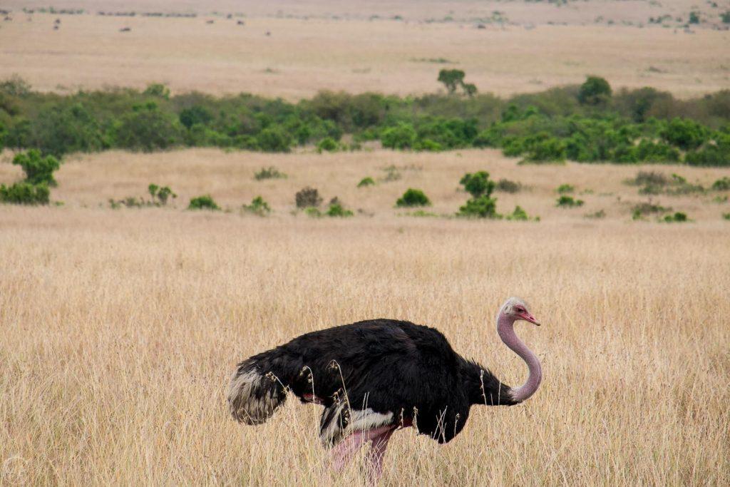 Male ostrich, Masai Mara safari, Kenya