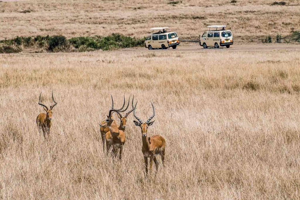 Impala antelope, Masai Mara, Kenya