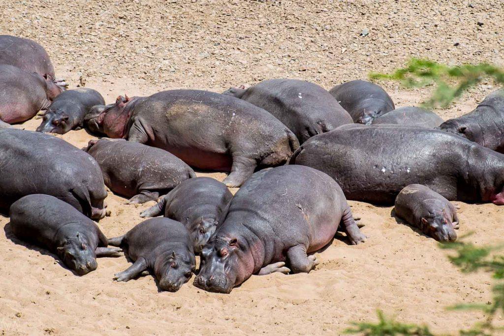 Hippos, Masai Mara, Kenya