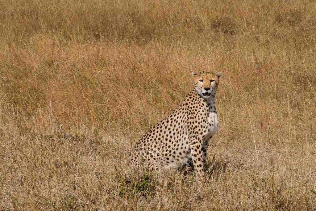 African safari animals in Kenya, Hunting cheetah, Masai Mara, Kenya