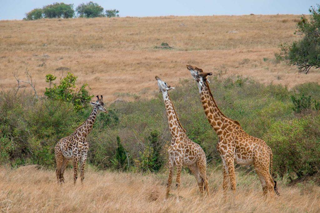 Masai giraffe, Masai Mara safari, Kenya