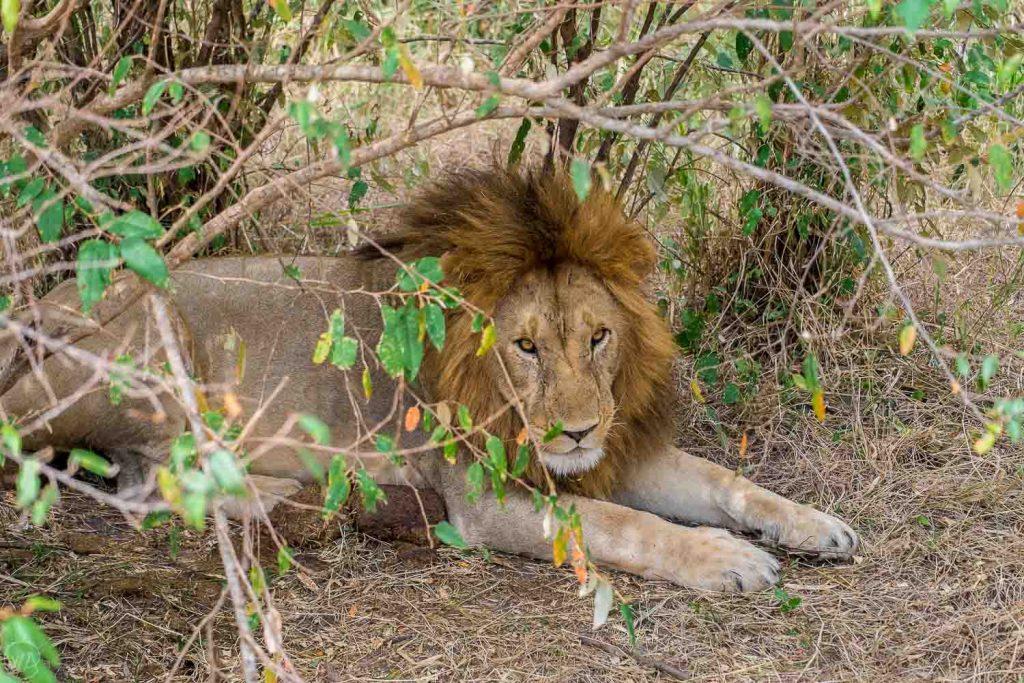 African safari animals king - Lion resting under the tree, Masai Mara safari, Kenya
