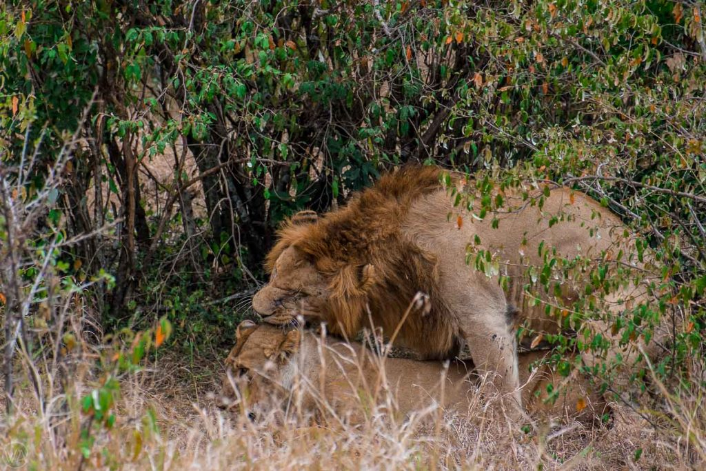 Mating lions, Masai Mara safari in Kenya