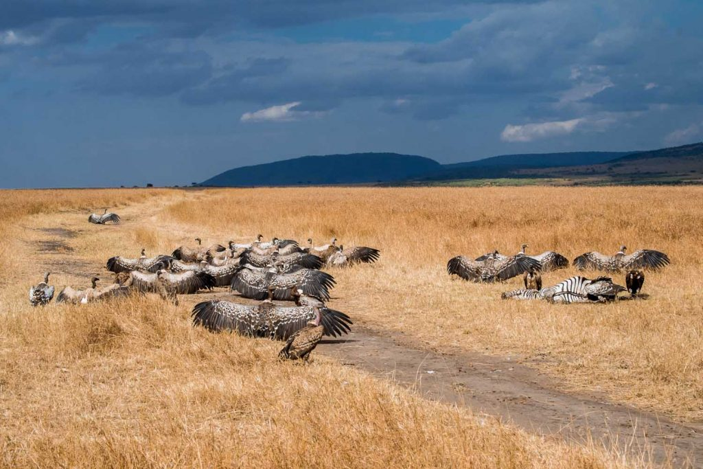 Vultures resting in the heat of a day in Masai Mara, Kenya