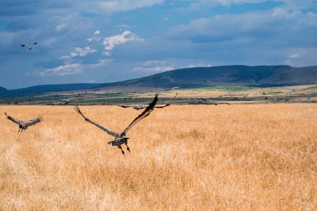 African safari, Flying vultures, Masai Mara safari, Kenya