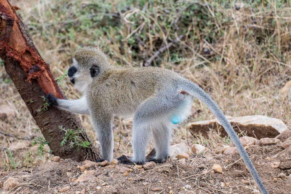 Blue Ball monkeys, Masai Mara Kenya