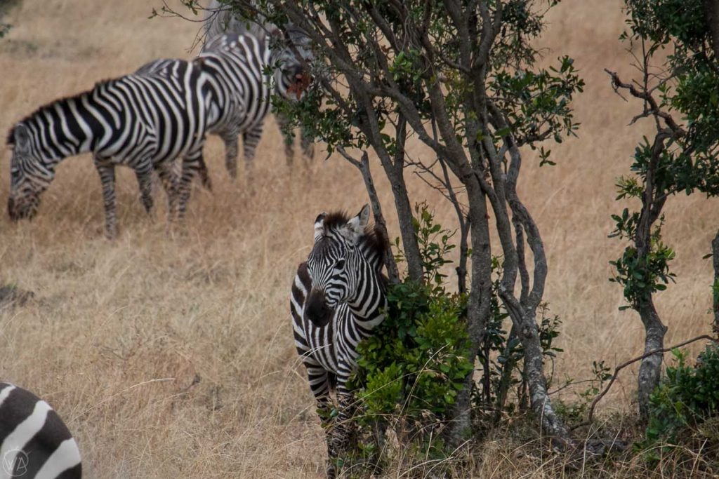 Baby zebra scratching on the tree, Masai Mara, Kenya