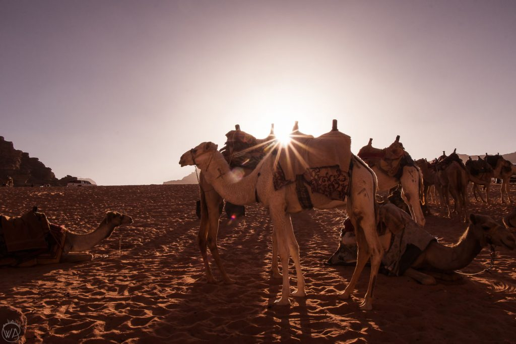 Camels, the sun and the desert, Wadi Rum