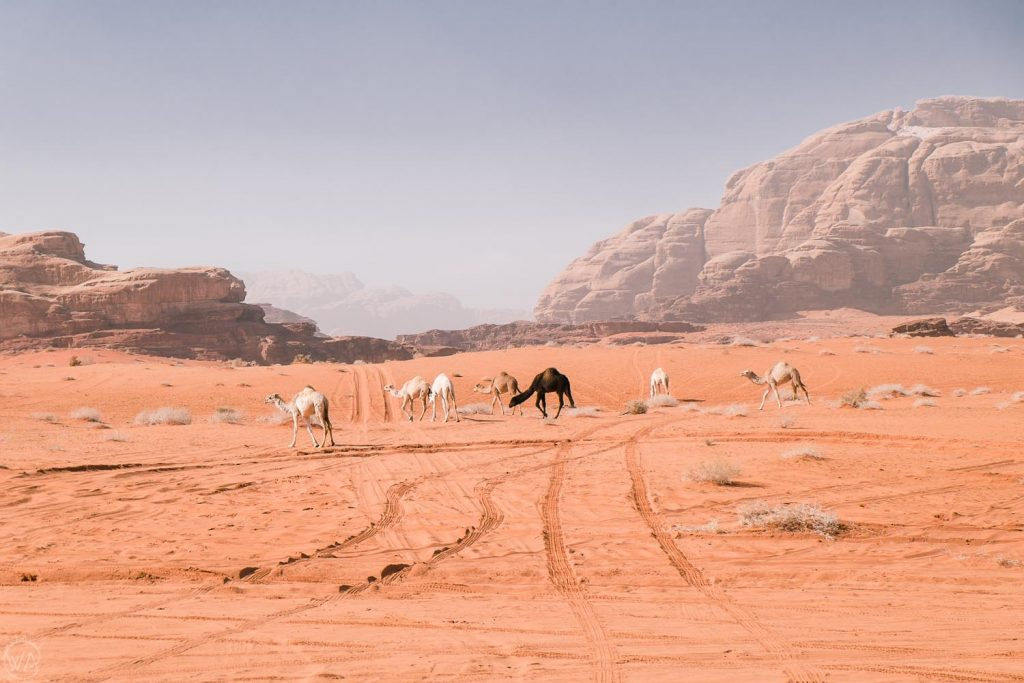 Black and white camels on the red desert, Wadi Rum, Jordan