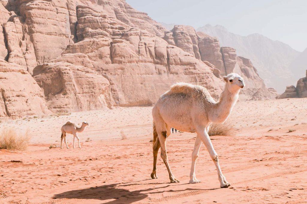 Camels' fields, Wadi Rum