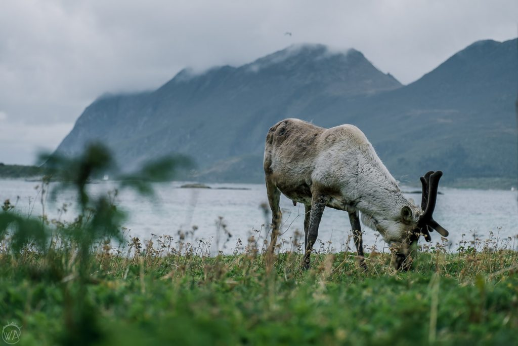 Wild reindeer on Senja island Norway