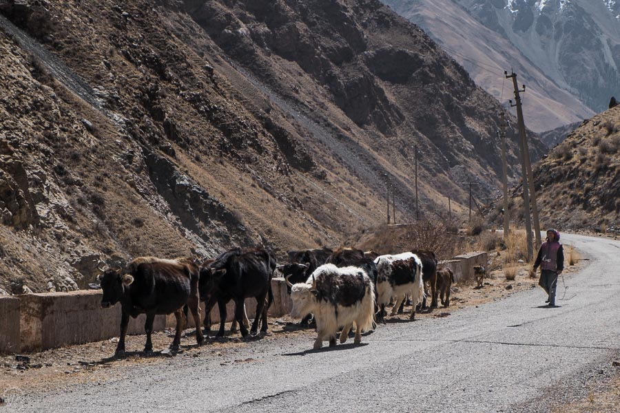 Locals live off the livestock in Tian Shan, that usually consist of cattle and often yaks, Kyrgyzstan.
