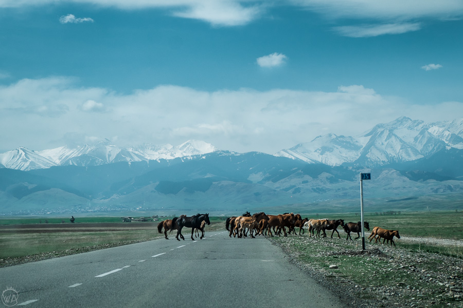 Traffic while travelling Central Asia - horses on the road