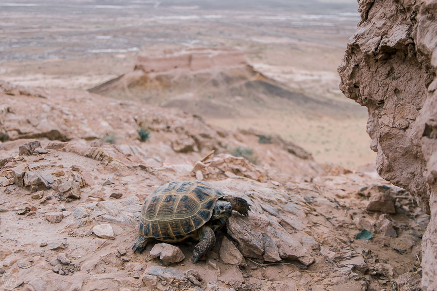 Turtle in front of desert qalas, Uzbekistan, a stop in Central Asia travel itinerary
