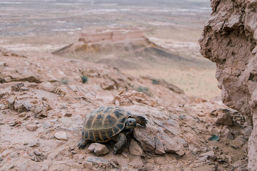 Turtle in front of Ayaz Qala, Uzbekistan