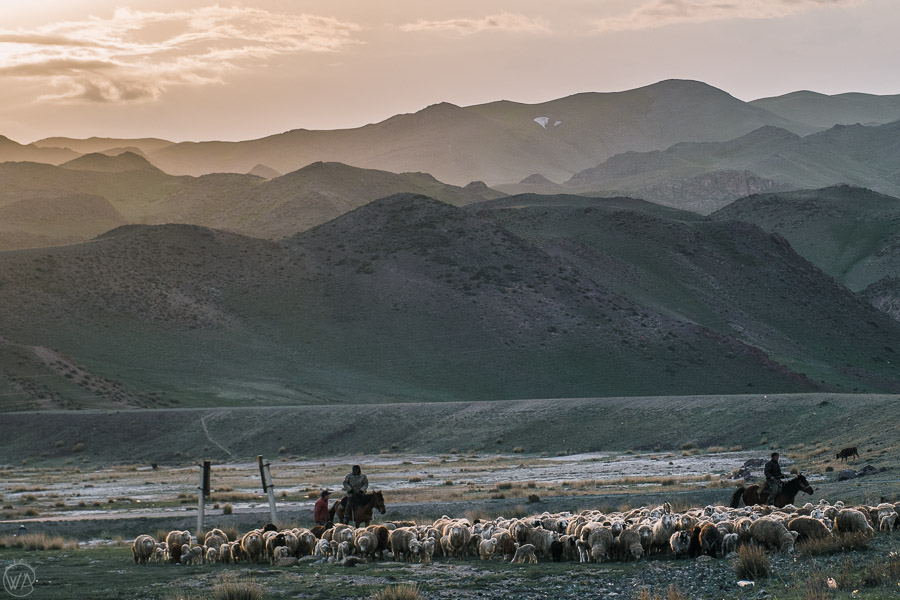 Horse riders collecting sheep for the night, Kazakhstan
