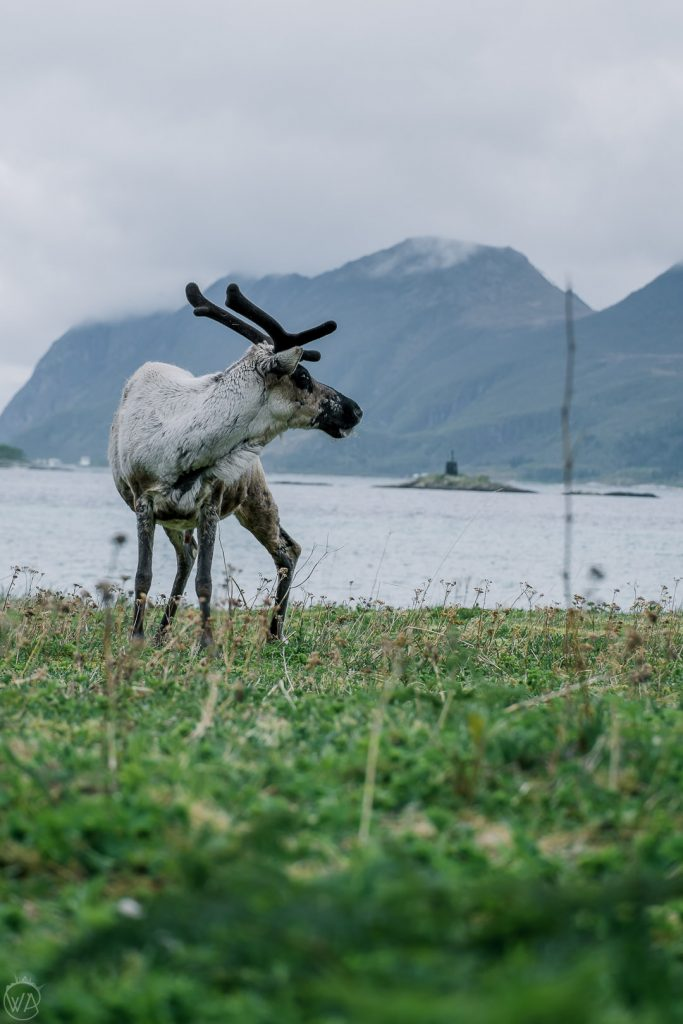 reindeer in Senja island in Norway