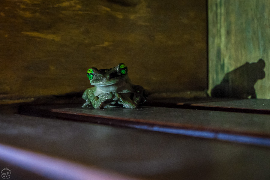 Frog inside the eco lodge in the Amazon in Ecuador