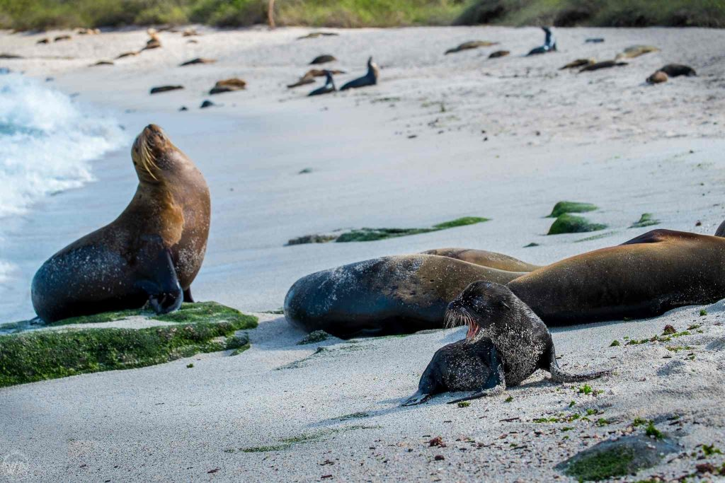 Sea lions in the Galapagos Islands, Ecuador