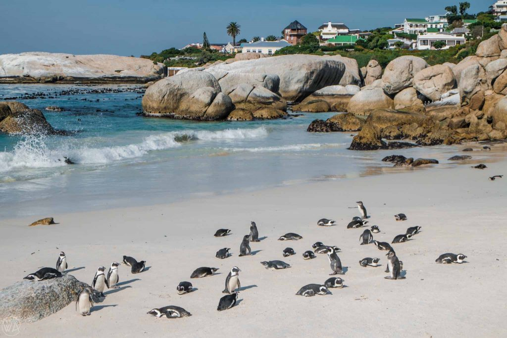 Penguins in the Boulders Beach in South Africa